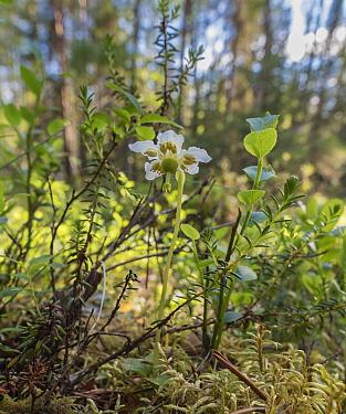 One-flowered wintergreen (Moneses uniflora) in woodland habitat, Finland, July.
