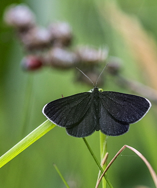 Chimney sweeper moth (Odezia atrata) Finland, July.