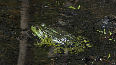 Edible frog (Pelophylax esculentus), female, Finland, June.
