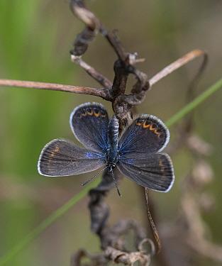 Silver-studded blue (Plebejus argus), female, Finland, July.