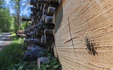 Blackspotted pliers support beetle (Rhagium mordax), attracted by logs, Finland, June.