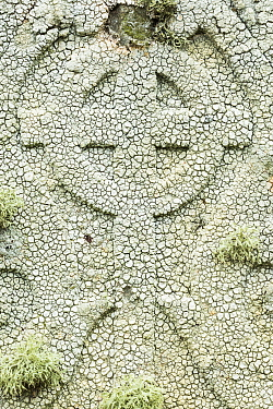 Crawfish lichen (Ochrolechia parella) on a gravestone, Unst, Shetland Islands, Scotland, August.