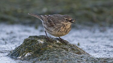 Eurasian rock pipit (Anthus petrosus) along coast, Finland, April.