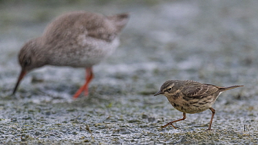 Eurasian rock pipit (Anthus petrosus), with Redshank (Tringa totanus), Finland, April.