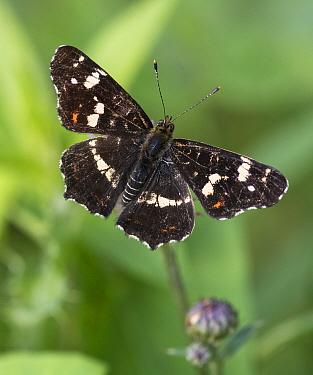 Map butterfly (Araschnia levana), male, Finland, August.