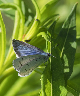 Holly blue butterfly (Celastrina argiolus), female, Finland, June.