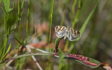 Silver barred moth (Deltote bankiana), Finland, June.