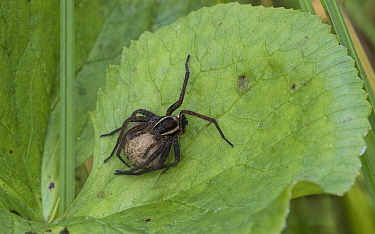 Raft spider (Dolomedes fimbriatus), female with egg sac, Finland, August.