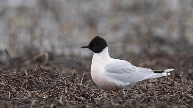 Little Gull (Hydrocoloeus minutus), nesting adult, Finland, May.