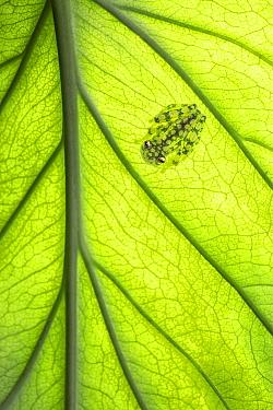 Valeroi's glass frog (Hyalinobatrachium Valerioi) on underside of a leaf, Costa Rica.