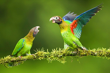 Two Brown-hooded parrots (Pyrilia haematotis) interacting, Costa Rica.