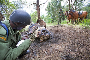 Wildlife poaching patrol on horseback record information about an elephant (Loxodonta africana) carcass poached for ivory and meat, Mount Kenya NP, Kenya