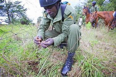 Wildlife poaching patrol unit on horseback remove a snare placed on the bottom of park boundary wire fence, Mount Kenya NP, Kenya