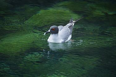 Swallow-tailed gull (Creagrus furcatus) on water, Genovesa Island, Galapagos