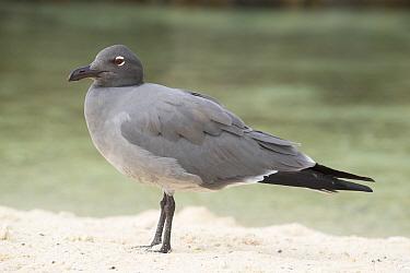 Lava gull (Larus fuliginosus) on beach, Darwin Bay, Genovesa Island, Galapagos