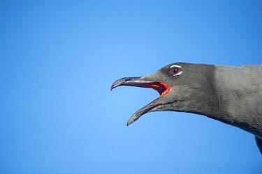 Lava gull (Larus fuliginosus) calling, Itabaca Channel, Santa Cruz Island, Galapagos