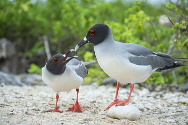 Swallow-tailed gull (Creagrus furcatus) pair in courtship, Genovesa Island, Galapagos