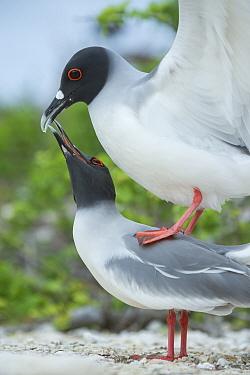 Swallow-tailed gull (Creagrus furcatus) pair mating, Genovesa Island, Galapagos