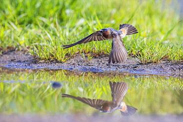 Cliff swallow (Petrochelidon pyrrhonota) gathering mud for nest building, Yellowstone National Park, Montana, USA.