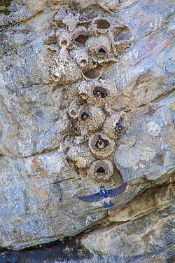 Cliff swallow (Petrochelidon pyrrhonota) nesting colony, Yellowstone National Park, Montana, USA, May.