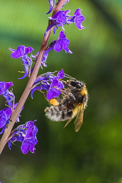 Garden bumblebee (Bombus hortorum) worker visiting Purple toadflax (Linaria purpurea) Monmouthshire, Wales, UK, June.
