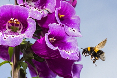 Garden bumblebee (Bombus hortorum), flying to Foxglove (Digitalis purpurea), flower, Monmouthshire, Wales, UK. June.