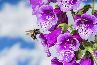 Garden bumblebee (Bombus hortorum) flying to Foxglove (Digitalis purpurea) flowers, Monmouthshire, Wales, UK, June.