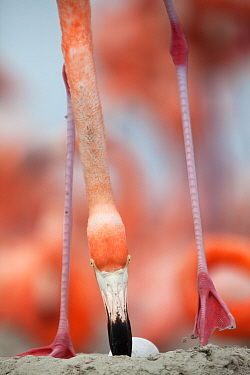 Caribbean Flamingo (Phoenicopterus ruber) rolling egg to side in the nest, Ria Lagartos Biosphere Reserve, Yucatan Peninsula, Mexico, June, June, Finalist in the Portfolio Category of the Terre Sauvag...