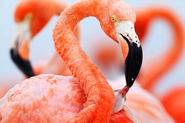 Caribbean Flamingo (Phoenicopterus ruber) feeding three day old chick at breeding colony, Ria Lagartos Biosphere Reserve, Yucatan Peninsula, Mexico, June, June, Finalist in the Portfolio Category of t...