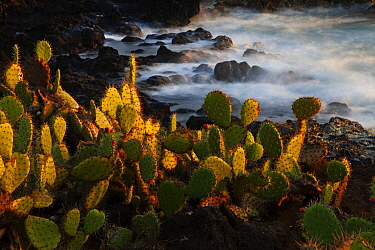 Pricklepear (Opuntia sp.) growing on coastline, Socorro Island, Revillagigedo Archipelago National Park (Socorro Islands), Pacific Ocean, Western Mexico, November, Honorary Mention in the third nation...
