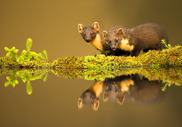 Pine marten (Martes martes) reflected in water, Ardnamurchan Peninsula, west coast of Scotland, UK. Highly commended in the Mammals category of the British Wildlife Photography Awards (BWPA) Competiti...