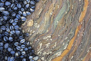 Colony of Common Mussels (Mytilus edulis) growing on striated rock formation exposed at low tide. Cornwall, England, UK. Highly commended in the Coast and Marine Category of the British Wildlife Photo...