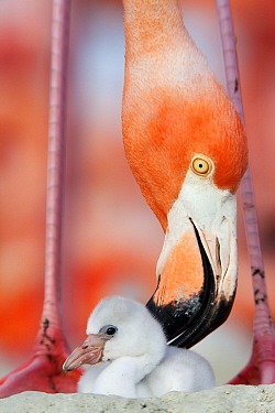 Caribbean Flamingo (Phoenicopterus ruber) preening chick in the breeding colony, Ria Lagartos Biosphere Reserve, Yucatan Peninsula, Mexico, June Finalist in the Portfolio Category of the Terre Sauvage...
