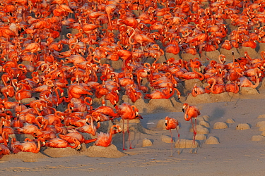 Aerial view of Caribbean Flamingo (Phoenicopterus ruber) breeding colony, Ria Lagartos Biosphere Reserve, Yucatan Peninsula, Mexico, May, Finalist in the Portfolio Category of the Terre Sauvage Nature...