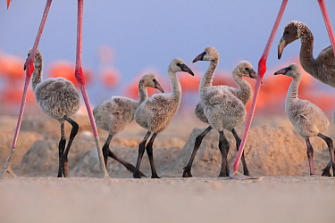 Caribbean Flamingo (Phoenicopterus ruber) chick group walking around the breeding colony, Ria Lagartos Biosphere Reserve, Yucatan Peninsula, Mexico, June, Finalist in the Portfolio Category of the Ter...