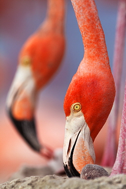 Caribbean Flamingo (Phoenicopterus ruber) tending to newborn chick while another feed two day old chick, breeding colony, Ria Lagartos Biosphere Reserve, Yucatan Peninsula, Mexico, June, Finalist in t...