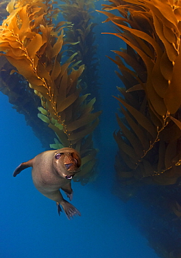 Californian Sealion (Zalophus californianus) in kelp (Macrocystis pyrifera) forest, San Benito del Este Island, Baja California Peninsula Pacific Islands Biosphere Reserve, Baja California, Mexico, Ma...