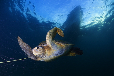 Green Turtle (Chelonia mydas) trapped in fishing net, Sea of Cortez (Gulf of California), Mexico, May, Third Place in the third National Contest 'Visions of our nature' organised by Mexico's National...