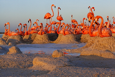 Caribbean Flamingo (Phoenicopterus ruber) breeding colony, Ria Lagartos Biosphere Reserve, Yucatan Peninsula, Mexico, June. Finalist in the Portfolio Category of the Terre Sauvage Nature Images Awards...