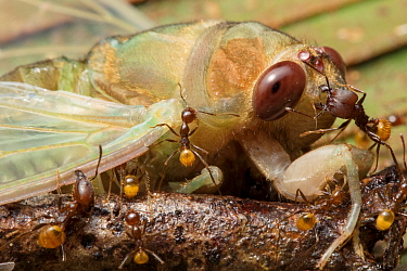 Ants (Formicidae) attacking newly emerged cicada (Cicadacae), ??Yasuni National Park,  Ecuador??. Highly commended in the Invertebrates Category of the Wildlife Photographer of the Year Awards (WPOY)...