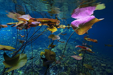 Water lilies in the Cenote Nicte Ha, Quintana Roo, Yucatn Peninsula, Mexico. May. Photographed for The Freshwater Project.