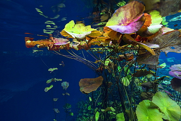 Water lilies in the Cenote Nicte Ha, Quintana Roo, Yucatan Peninsula, Mexico.  May. Photographed for The Freshwater Project.