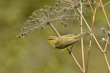 Chiffchaff (Phylloscopus collybita) perched on Hogweed stem, Hertfordshire, England, UK, March