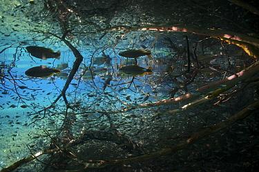 Piraputanga (Brycon hilarii) and small Tetra fish (Hyphessobrycon sp.) Rio Olhio d'Agua, tributary of Rio da Prata, Serra da Bodoquena (Bodoquena Mountain Range), Mato Grosso do Sul, Brazil November 2...