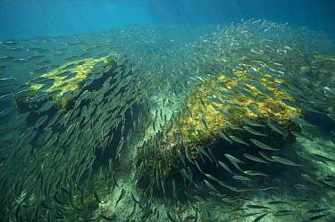 School of Scaled herring or Scaled sardine (Harengula clupeola), entering from the sea into the freshwater of the Laguna Yal Ku, Quintana Roo, Yucatan Peninsula, Mexico. Photographed for The Freshwate...
