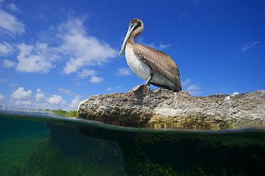 Brown Pelican (Pelecanus occidentalis) at waters edge, Laguna Yal Ku, Quintana Roo, Yucatan Peninsula, Mexico. February. Photographed for The Freshwater Project