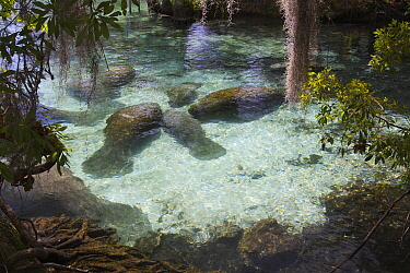 West Indian Manatee (Trichechus manatus) entering freshwater of Florida springs during winter. Crystal River, Crystal River National Wildlife Refuge, Florida, USA. Photographed for The Freshwater Proj...