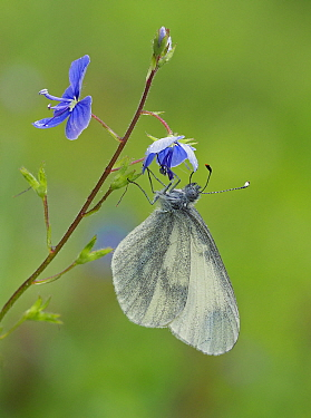Wood White butterfly (Leptidea sinapis) on Germander Speedwell (Veronica chamaedrys), Surrey, England, UK, May - Focus Stacked