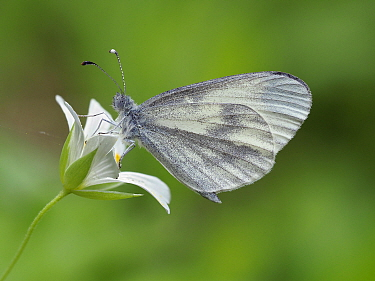 Wood white butterfly (Leptidea sinapis) on Greater stitchwort (Stellaria holostea), Surrey, England, UK, May - Focus Stacked