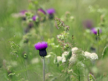 Melancholy thistle (Cirsium helenioides) flower isolated among grasses and other plants in upland meadow, Upper Teesdale, County Durham, England, UK, June